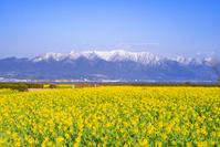 滋賀県 守山市 菜の花畑