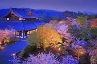 京都府 京都市 桜咲く 将軍塚青龍殿の夕景