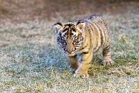 南アフリカ ベンガルトラの赤ちゃん