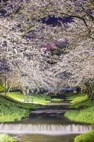 福島県 観音寺川の桜並木ライトアップ