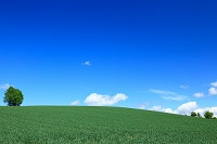 北海道 麦畑と木立