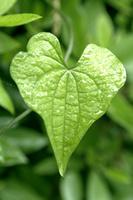 ナガイモの葉に雨の雫