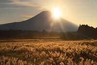 静岡県 猪之頭 朝日昇る富士山とチカラシバの群落