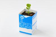 ツルレイシ 牛乳パックを利用した育苗の様子 2/7 子葉と本葉