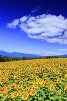 山梨県 明野のひまわり畑と南アルプス