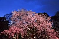 東京都 六義園の枝垂桜