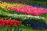 東京都 昭和記念公園 チューリップの花とムスカリ