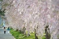 桜並木を歩く