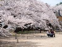 山梨県 清春芸術村 満開の桜