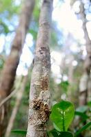ヤマビタイヘラオヤモリの擬態 マダガスカル