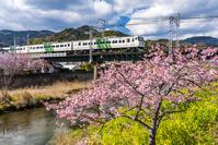 静岡県 河津桜と伊豆急行