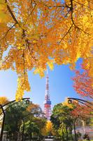 東京都 芝公園4号地の銀杏の黄葉と東京タワー