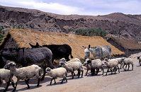 チリ カスパナ 羊とロバの移動