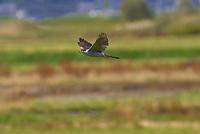 飛翔するオオタカ成鳥