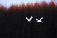 北海道 シルエットの林を飛翔