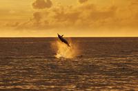 東京都 小笠原 夕焼けをバックにジャンプするハシナガイルカ