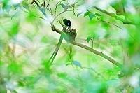五十鈴川源流の森 サンコウチョウ 給餌 子育て