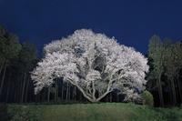 福岡県糸島市松国大山桜の夜桜
