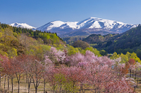山形県 オオヤマザクラと月山連峰