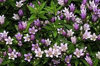 大阪府 和泉市 シャインブルーアシロの花