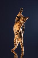 ポーズを取るベンガル猫