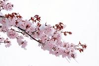 雪かぶるエゾヤマ桜