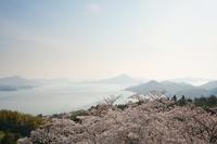 愛媛県開山の桜