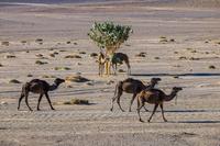 モロッコ サハラ砂漠のラクダ