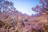 長野県 高遠町城址公園 桜