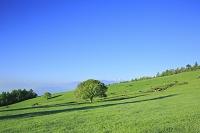 山梨県 八ヶ岳牧場 新緑のヤマナシの木と南アルプス甲斐駒ケ岳