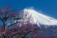 富士山と梅の花