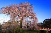 京都 円山公園の夜桜