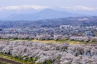宮城県 一目千本桜と残雪の蔵王連峰