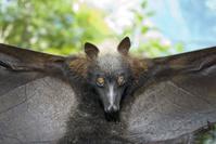 フィリピン ボラカイ島 フィリピンオオコウモリ