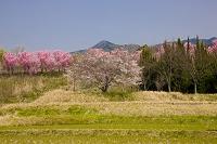 奈良県 春爛漫の天理の杣之内町