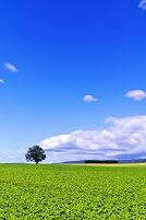 北海道 一本の木がある丘の夏景色