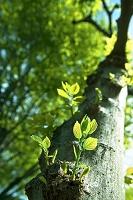 エノキ 木の幹から芽吹く新芽