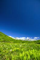 長野県 コバイケイソウ咲く鎌池湿原と白馬三山