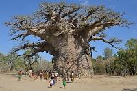 マダガスカル アンドンビリー ツイタカクイケ(バオバブ)の木...