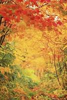 岩手県 八幡平・松川温泉付近の紅葉 雨