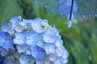雨傘とアジサイ