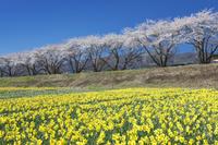 長野県 上川河川敷のスイセンと桜並木