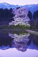 富山県 向野の桜の朝