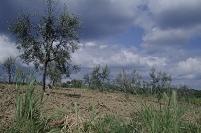 オリーブ畑 モンタルチーノ