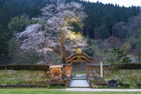 福井県 一乗谷朝倉氏遺跡の唐門と桜のライトアップ