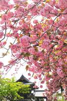 京都府 妙蓮寺の八重桜と鐘楼