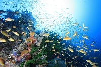 ハナダイの群れ サンゴ礁
