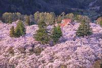 長野県 夕日を浴びる高遠城址の桜
