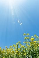 日ざし差す菜の花畑と蝶