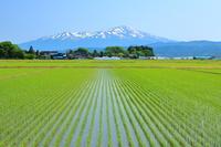 山形県 庄内平野・早苗田と残雪の鳥海山